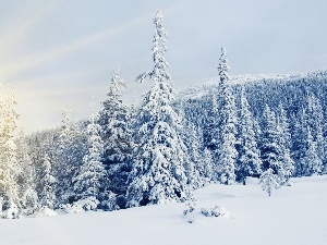 Spruces, rays of the Sun, Snowy