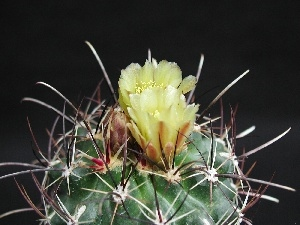 Cactus, Flowers, Spikes, Yellow