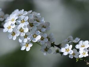 Spiraea, White, Flowers