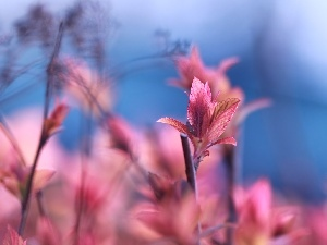 Spiraea, Red, Leaf