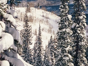 Snowy, Mountains, Spruces, slopes