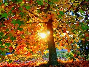 maple, west, sun, Autumn