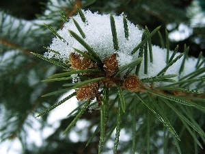 needles, twig, Swierk, A snow-covered