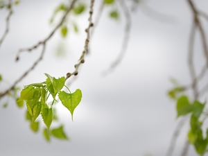 birch-tree, Leaf, Twigs
