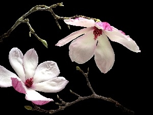 Twigs, Flowers, Magnolia