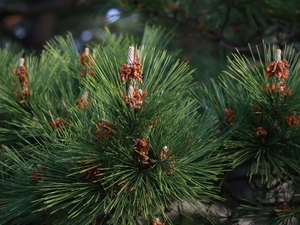 pine, green ones, Twigs