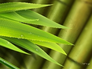 bamboo, drops, water, Leaf