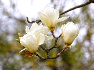 branch, Flowers, Magnolia, White