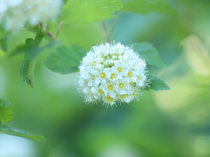 Flowers, White, Bush, Spiraea Van Houtte
