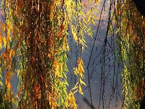 willow, color, Leaf