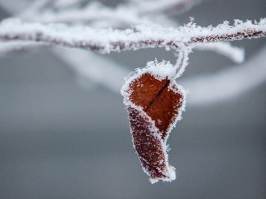 frosted, branch, winter, leaf