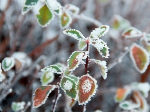 leaves, rime, winter, Frost