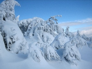 Sky, snow, winter, Spruces