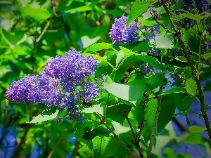 without, Flowers, lilac